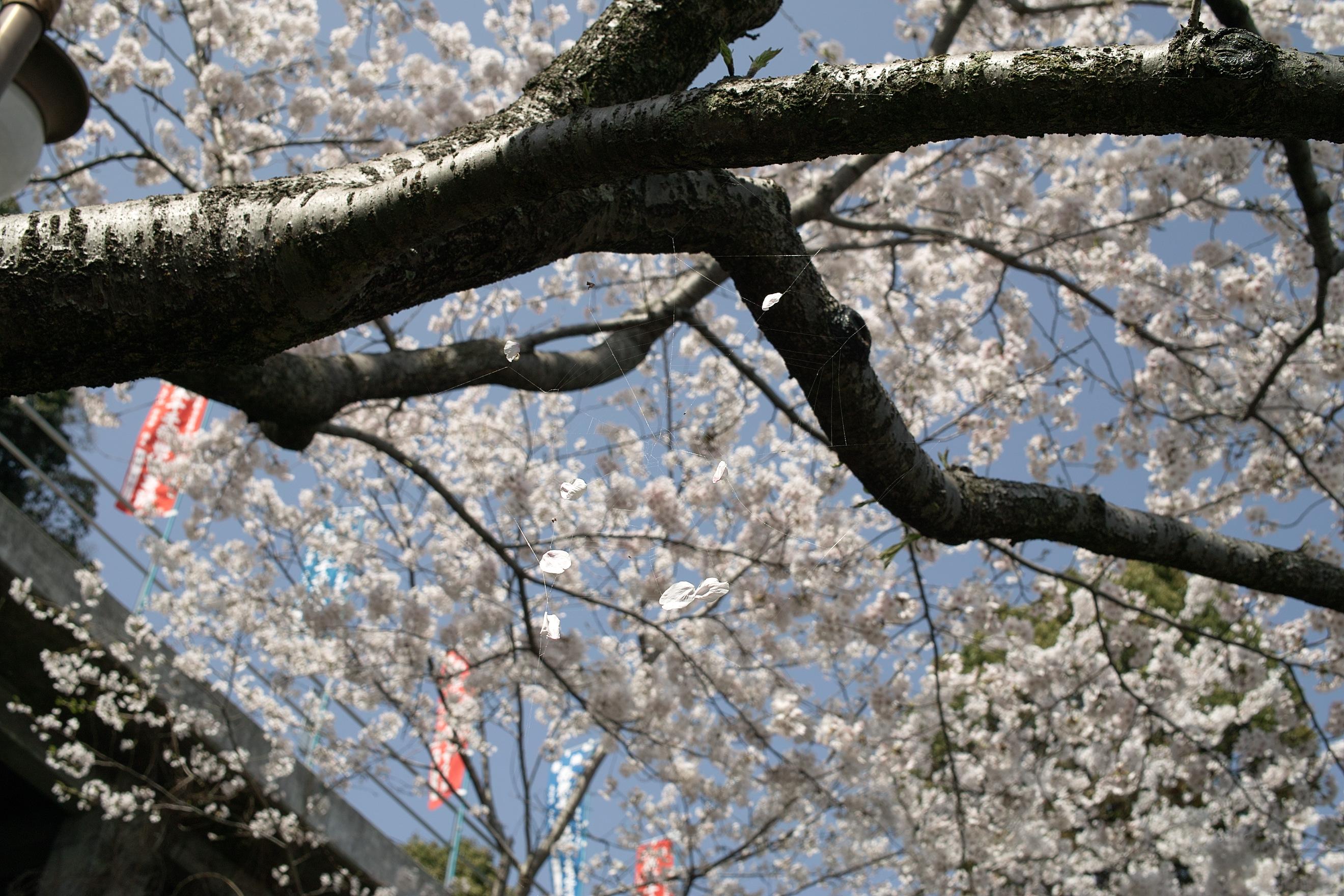 ライム色の桜(上)